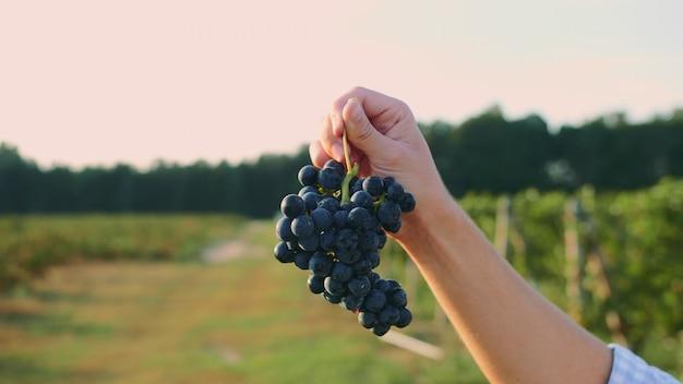 Мужчина тестирует созревание винограда.