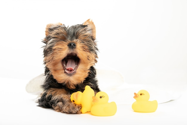 Купание маленького щенка. щенок йоркширского терьера в полотенце с резиновой уткой. милый щенок зевает. спать. расслабьтесь