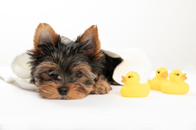 小さな子犬を入浴。ゴム製のアヒルとタオルでヨークシャーテリアの子犬。ヨークシャーテリア