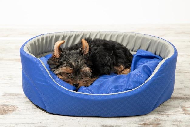 ヨークシャーテリアの子犬が犬のベッドの部屋で寝ています。睡眠、リラックス
