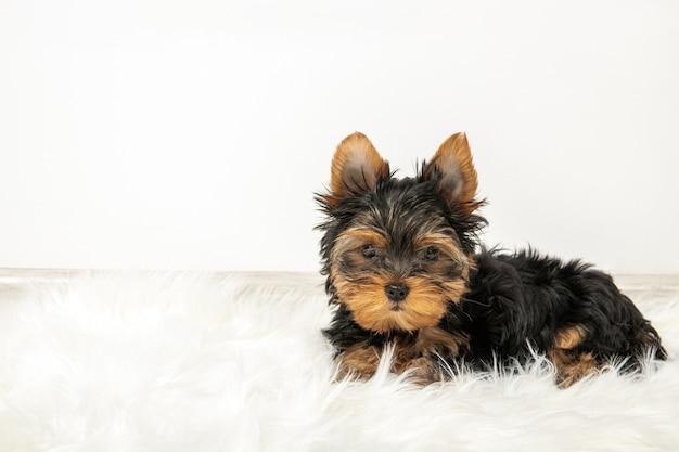 カーペットの上の部屋でヨークシャーテリアの子犬。テキストのための場所