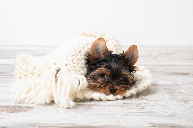 子犬は暖かい毛布の下の部屋にあります。