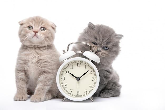 白い壁に子猫と目覚まし時計。動物と目覚まし時計。朝。