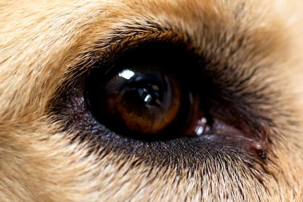 Крупный план глаза золотистого ретривера