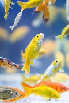 Разноцветные декоративные рыбы