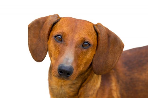 白い背景の上の小さなダックスフント犬
