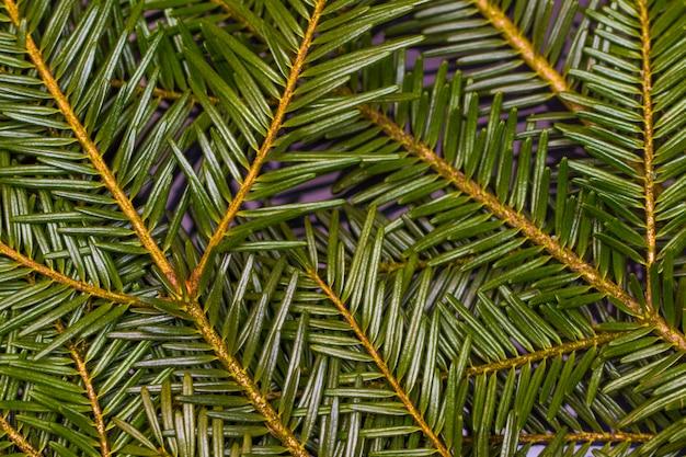 Зеленые сосновые ветви