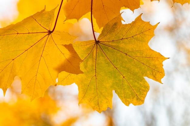 落ちてくる秋のカエデは自然のままです。