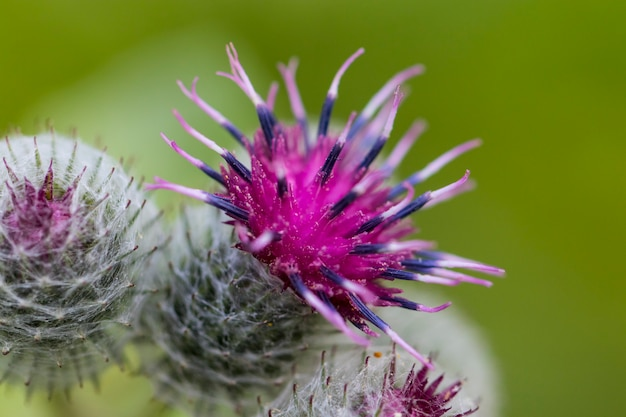 夏の朝に咲くピンクミルクアザミの花
