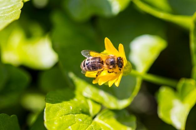 黄色のデイジーの花に蜂、マクロ。