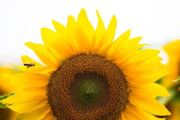ひまわり畑。ヒマワリは健康上の利点が豊富です。ひまわり油は皮膚の健康を改善し、細胞の再生を促進します