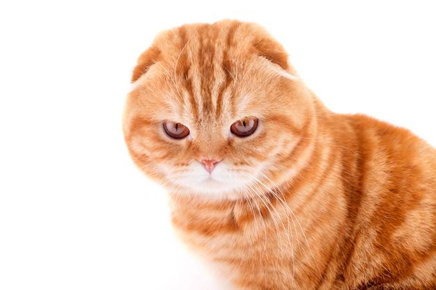 Шотландский вислоухий красный кот, портрет кота изолированного на белой стене. концепция фото кота для коммерческих кормов и ветеринарных служб.