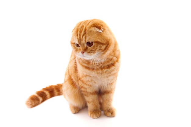 Шотландская вислоухая красная кошка, в полный рост, изолированная на белой стене. концепция фото для рекламы кошачьей еды, или ветеринарной клиники.