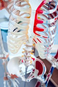 人体解剖モデル。診療所。