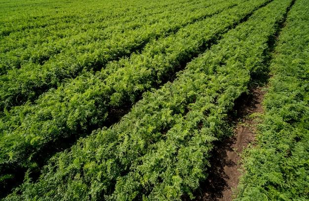 Длинное поле и ряды моркови. голубое летнее небо.
