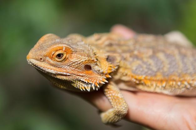 手のひらにエキゾチックな動物、緑の背景にひげを生やしたアガマトカゲが座っています。