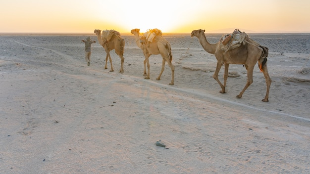 エチオピアのダナキル恐慌でアファール人が案内して塩を運ぶヒトコブラクダのキャラバン
