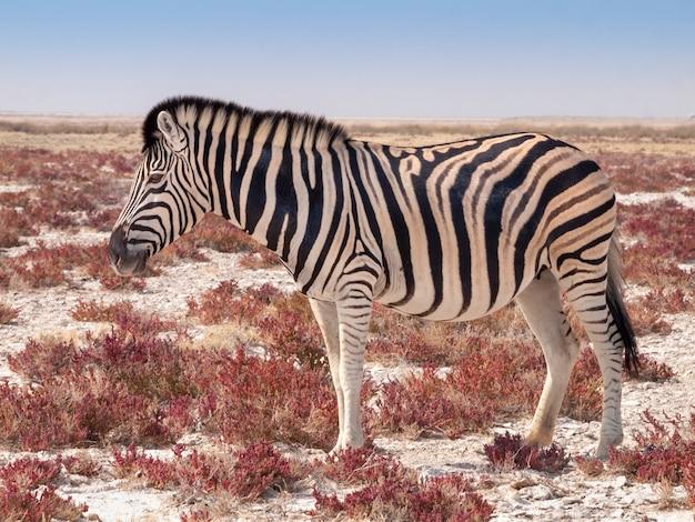 Зебра в национальном парке этоша в намибии в африке.