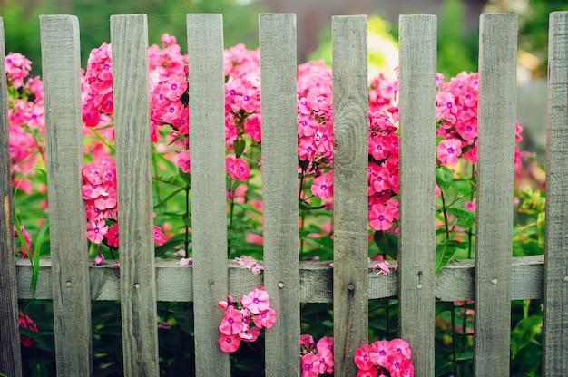 Скромные розовые цветы за деревянным забором в деревне.