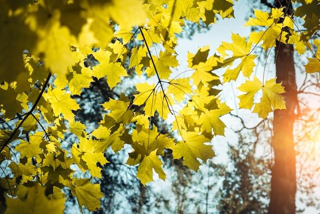 晴れた秋の日にぼやけた空を背景に黄色のカエデの葉
