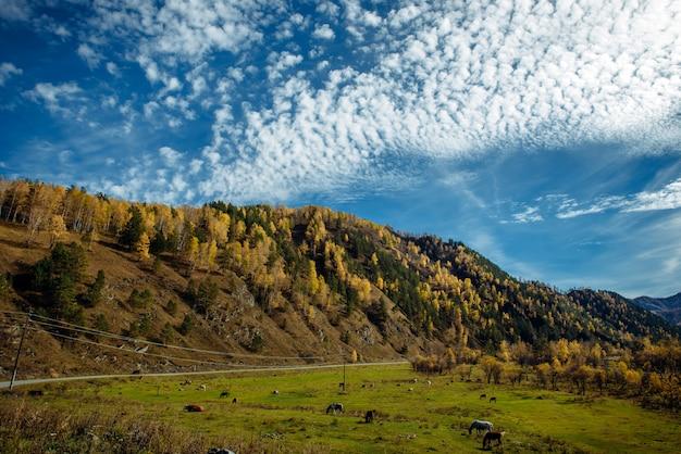 秋の晴れた日の山の田舎の狭い道、明るい青空の下で牧草地で放牧されている馬と牛