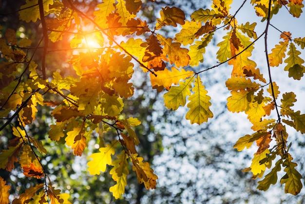 暖かい秋の日に黄色のオークの葉が太陽の下で輝きます。オークの枝のクローズアップ。