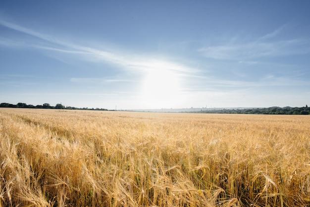 Большое поле зрелой пшеницы на закате. аграрная индустрия