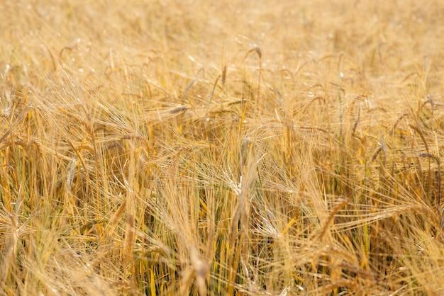 Зрелый конец-вверх колосков пшеницы растя в поле. аграрная индустрия
