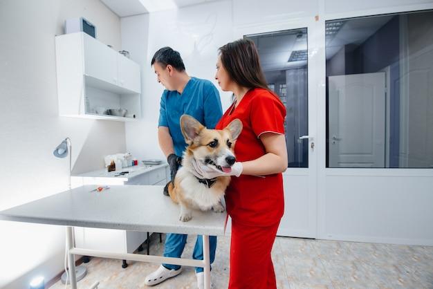 現代の獣医クリニックでは、サラブレッドのコーギー犬が検査されます。獣医クリニック