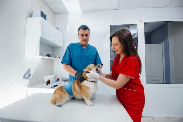 現代の獣医クリニックでは、サラブレッドのコーギー犬が検査されます。獣医クリニック。