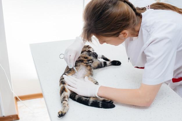現代の獣医クリニックでは、猫の腹を剃って検査し、手術の準備をしています。獣医クリニック。