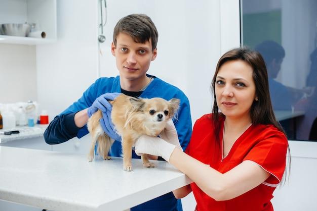 現代の獣医クリニックでは、サラブレッドチワワが検査され、テーブルで治療されます。獣医クリニック。