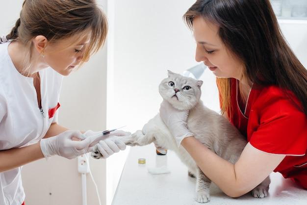 現代の獣医クリニックでは、サラブレッド猫が検査され、テーブルの上で扱われます。