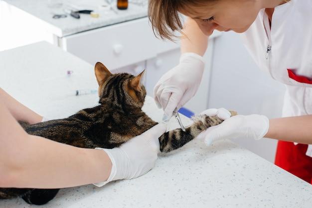 現代の獣医診療所では、サラブレッド猫が検査され、テーブルで治療されます。獣医クリニック。