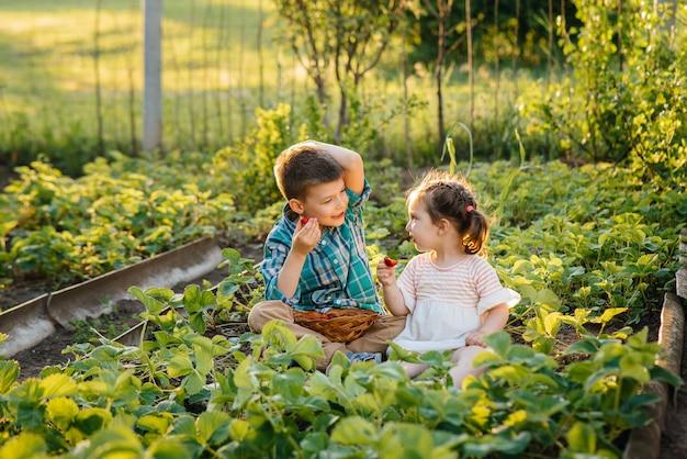 幼稚園時代のかわいい幸せな弟と妹は、晴れた夏の日に庭で熟したイチゴを集めて食べます。幸せな子供時代。健康的で環境にやさしい作物。