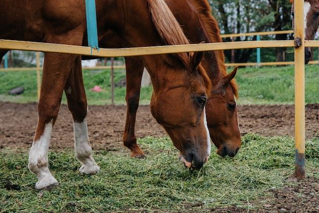 牧場で美しく健康な馬に餌をやる。畜産と馬の飼育。