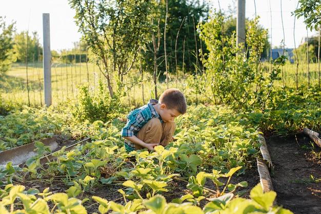 Милый и счастливый мальчик дошкольного возраста собирает и ест спелой клубники в саду в летний день на закате.