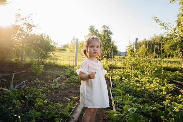 Милая и счастливая девушка дошкольного возраста собирает и ест спелой клубники в саду в летний день на закате.