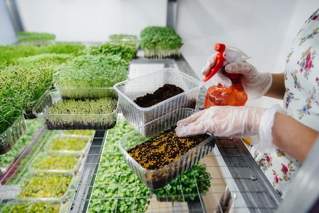 Девушка сажает семена микро зелени в современной теплице. здоровая диета.
