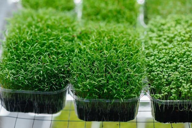 Сочные и молодые побеги микро зелени в теплице.