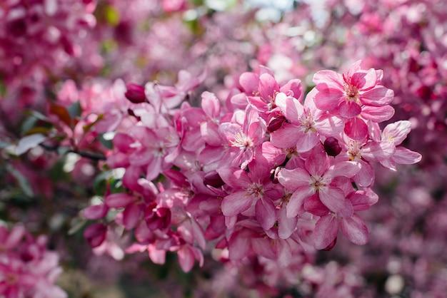 Красивая, розовая цветущая яблоня в весеннем саду