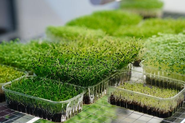Сочные и молодые побеги микро зелени в теплице. выращивание семян. здоровое питание.