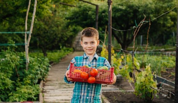 小さな男の子が庭で夕暮れ時に熟した野菜の箱全体を抱えて立って笑顔します。農業、収穫。環境にやさしい製品です。