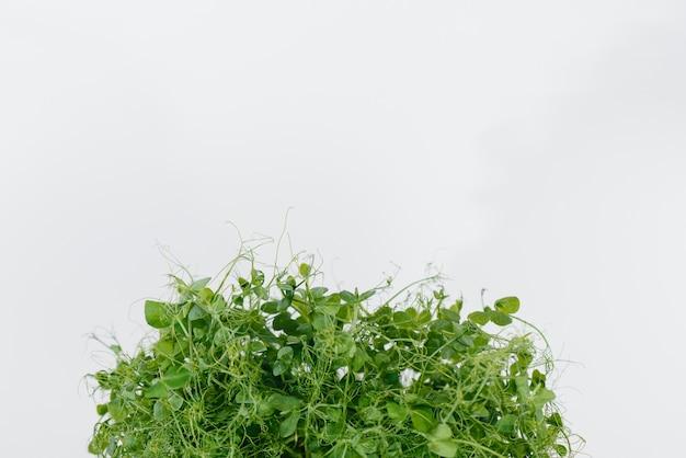 土が付いている鍋の白い表面のマイクログリーンピースの芽のクローズアップ。健康食品とライフスタイル。