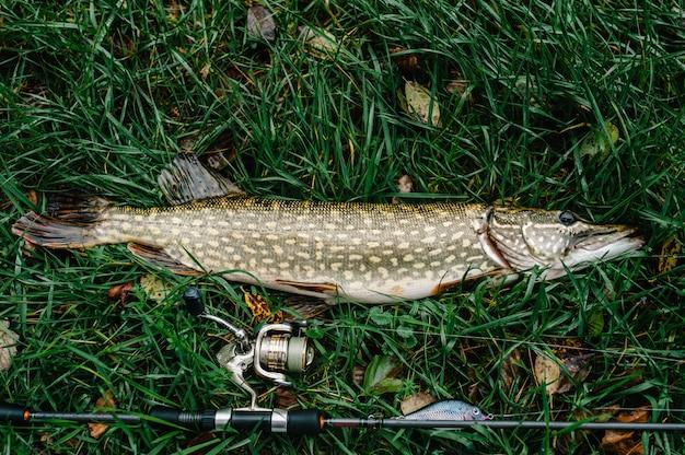 Отличный улов, щука с спиннингом лежит на траве, удочка. рыбалка фон.