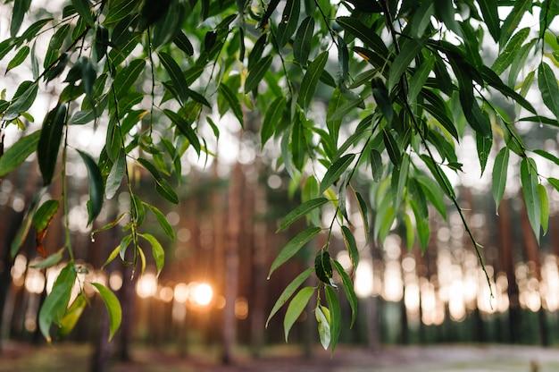 トウヒの木の森に日光の自然。鮮やかな朝と枝を通る太陽光線のある色鮮やかな森の霧が神秘的な雰囲気を作り出します。
