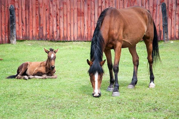 茶色の馬は子馬と古い木製のフェンスの近くの草を食べています。