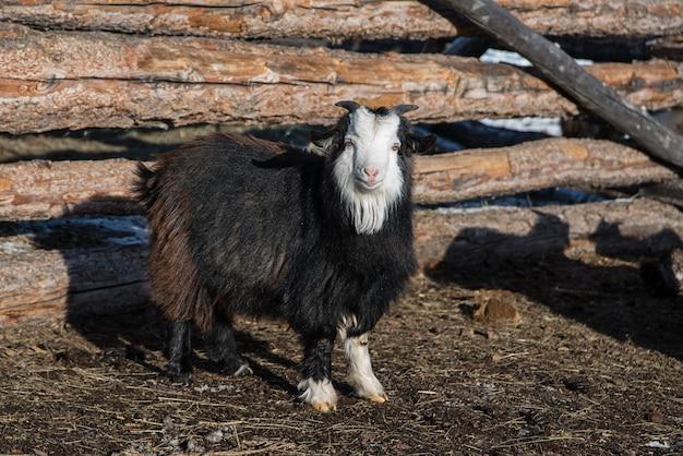 ファームの木製フェンスの近くのモンゴルの小さなヤギ