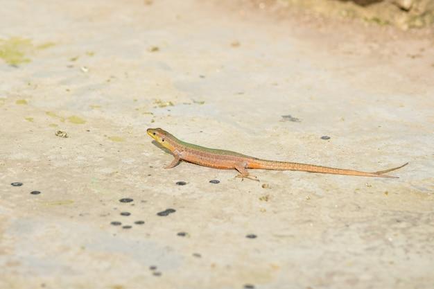 Странная хвостатая мальтийская ящерица