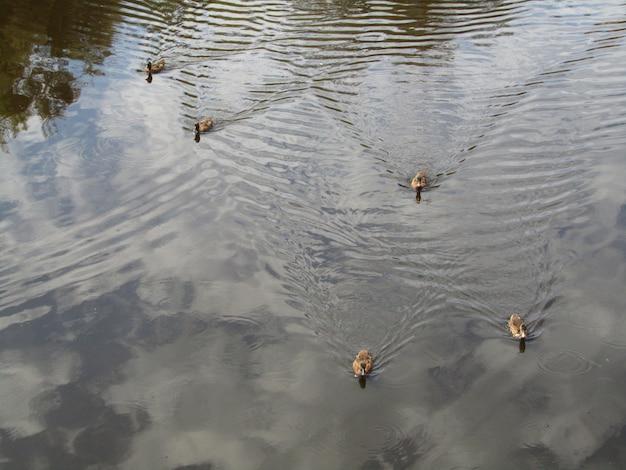 Утки кряквы плавая в пруде